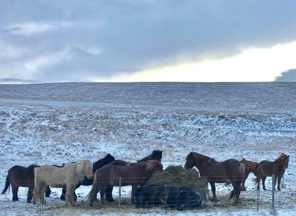 Icelandic ponies eating a bale of hay in a snow-covered field