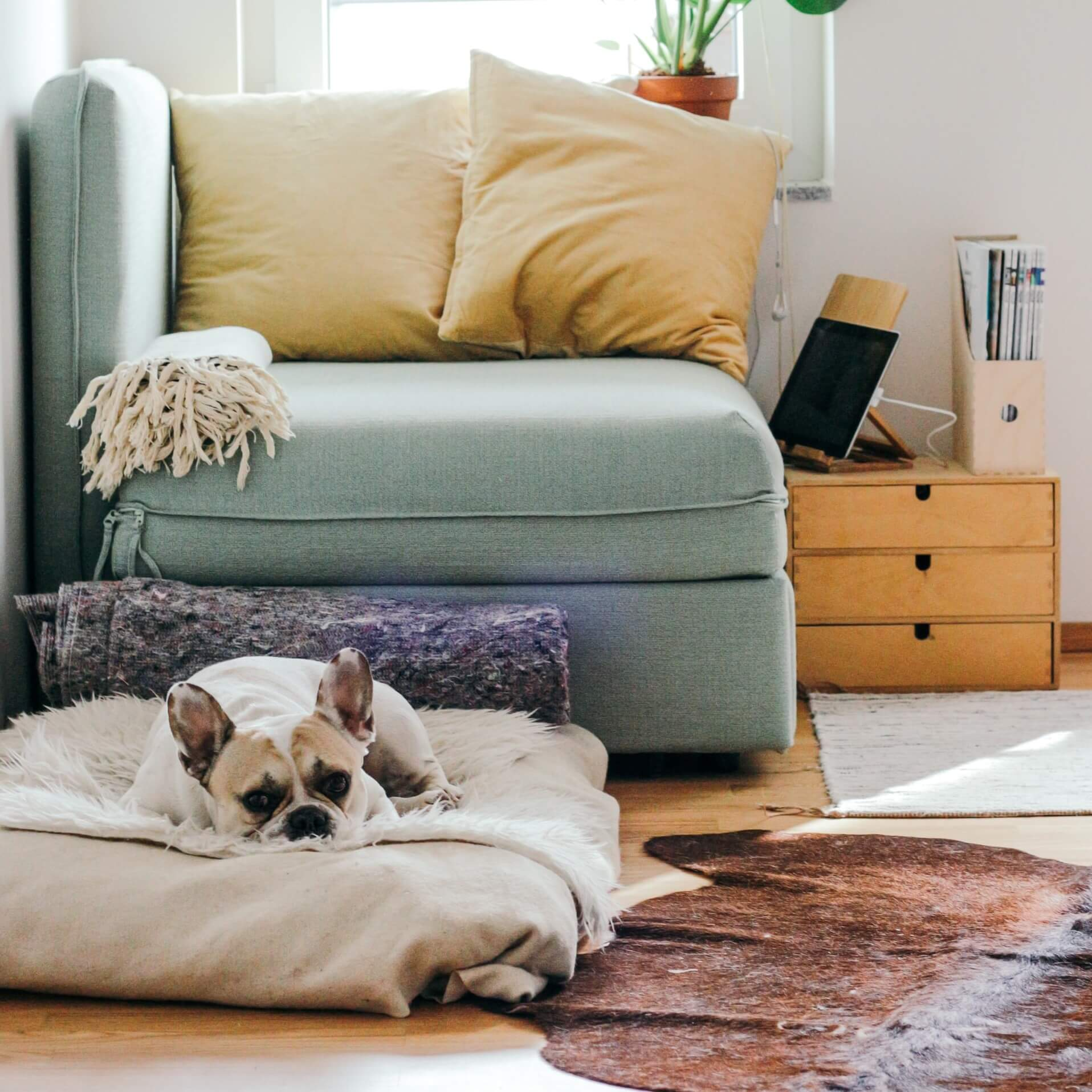 A white dog sleeps on a dog bed in front of a turqoise chair with yellow cushions and drawers beside it Is House Sitting Safe and Other FAQs | bucketlistmylife.com