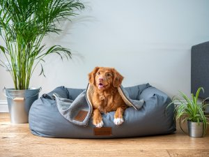 red setter sitting on a blue dog bed | What is housesitting? | bucketlistmylife.com